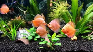 Дискусы (запуск в аквариум)