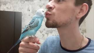 Говорящий волнистый попугай целуется с хозяином :* Budgie kisses his owner