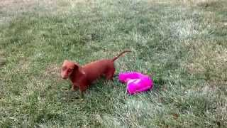 Lokie The Dachshund Takes Off Her Sweater By Herself