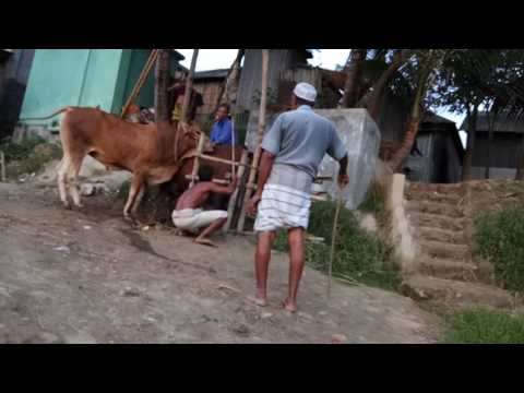 Bull Matting With Cow||How To Man Help Bull Sex With Cow||Bull Sex Style||