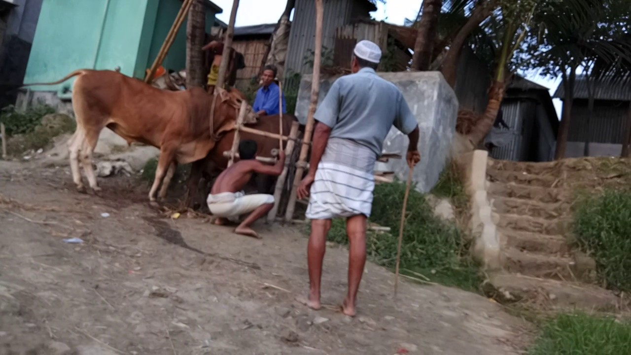 Pictures of men having sex with cows