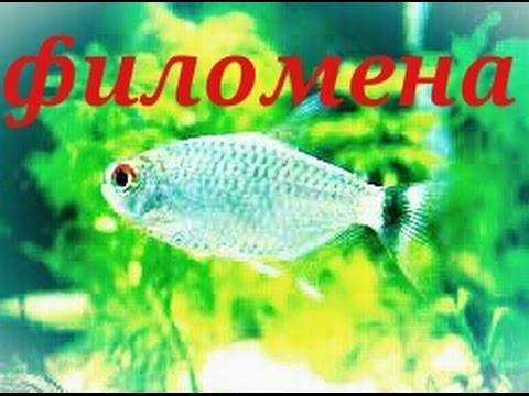 Аквариумные рыбки. Филомена. Тетра.