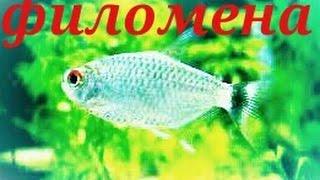 Аквариумные рыбки. Филомена. Тетра.(Филомена или моэнкаузия красноглазая (лат. Moenkhausia sanctaefilomenae). Есть тетра. Её особенностью являются красные..., 2016-03-01T15:54:16.000Z)
