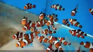 Clownfish - Finding Nemo ..... Awesome Saltwater Aquarium Fish