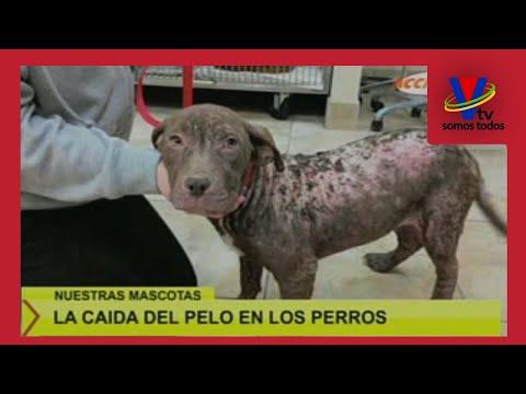el pelo del perro no vuelve a crecer después de la infección de la piel