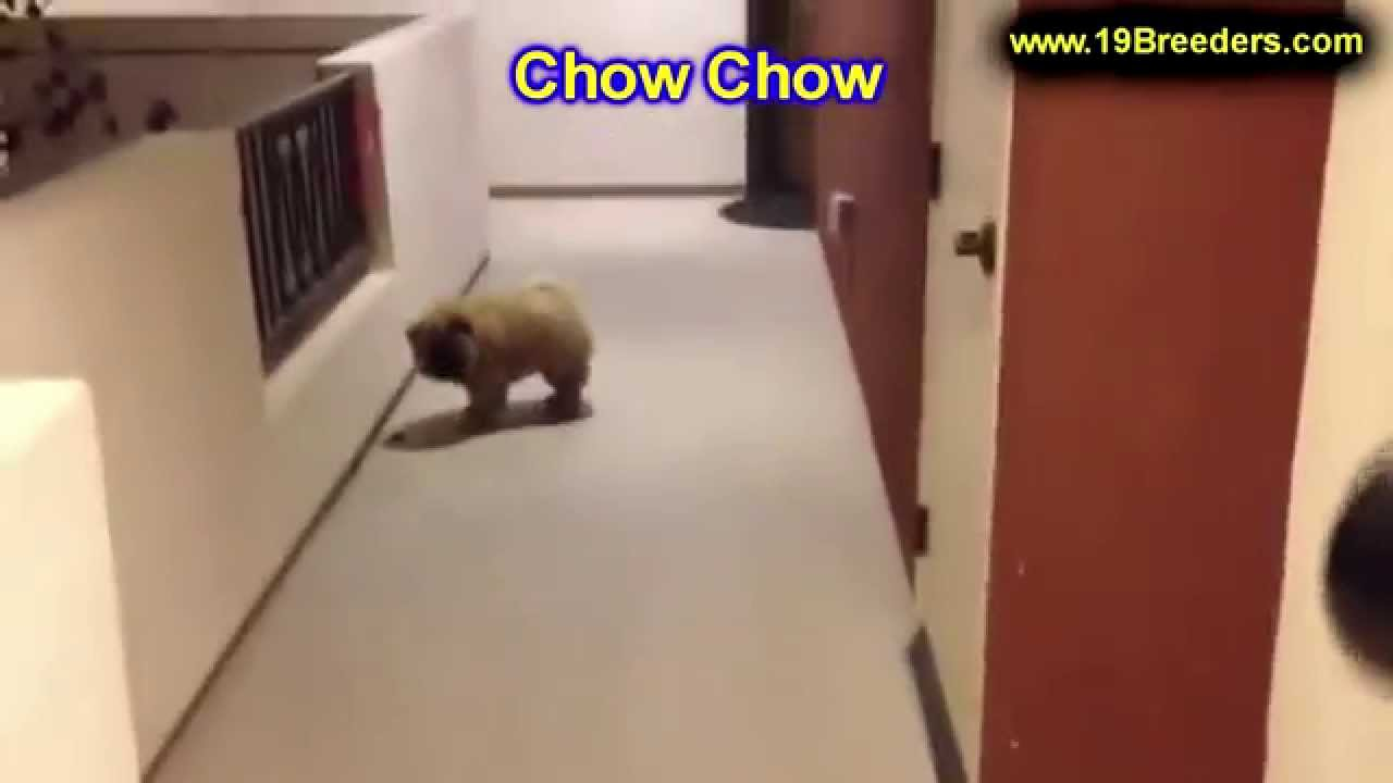 Chow Chow Puppies For Sale In East Honolulu Hawaii Hi