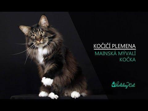 Plemena koček: MAINSKÁ MÝVALÍ KOČKA (reportáž)