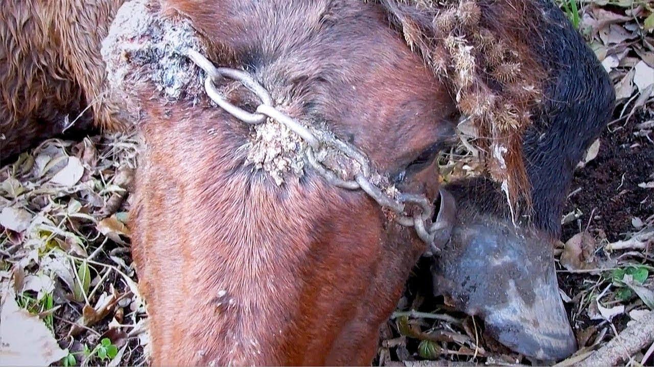 Yabani At 20 Yıl Boyunca Kafasında Zincirle Yaşadı, Kurtulunca Bakın Ne Yaptı. MUCİZE.