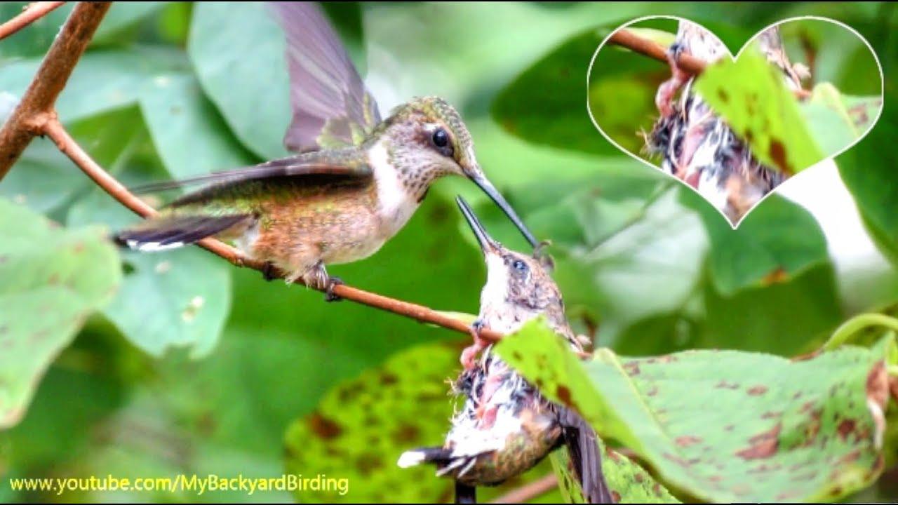 Baby Hummingbird S Heartbeat Youtube