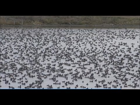 Hired to Hunt Season 3 #12:  Don't Be Afraid.  Duck and Goose Hunting.  Limit hunts in Alberta.