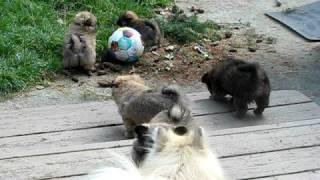 Lhaso Apso/pomeranian Puppies/2