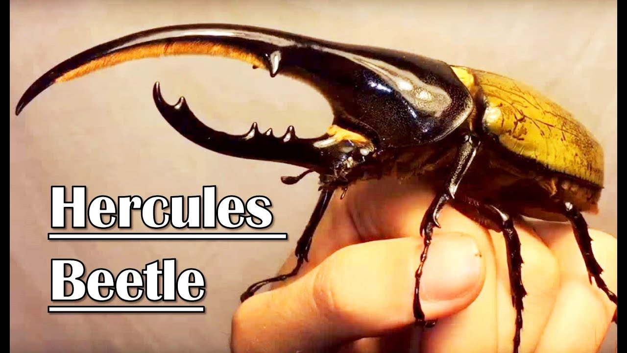 40 Interesting Facts About Hercules Beetles Genus Dynastes