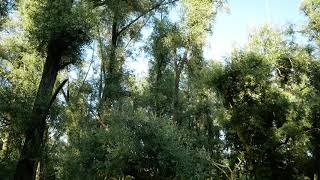 Ooibos, 2e clip - Lobberdense Waard