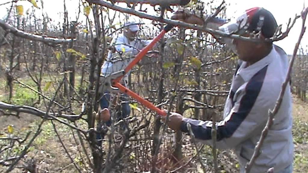 Poda de inverno na macieira com pro pruner mpg youtube - Poda de hortensias epoca ...