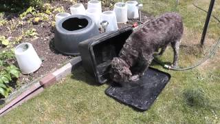 German Wirehaired Pointer Dog Taking Food From A Bin