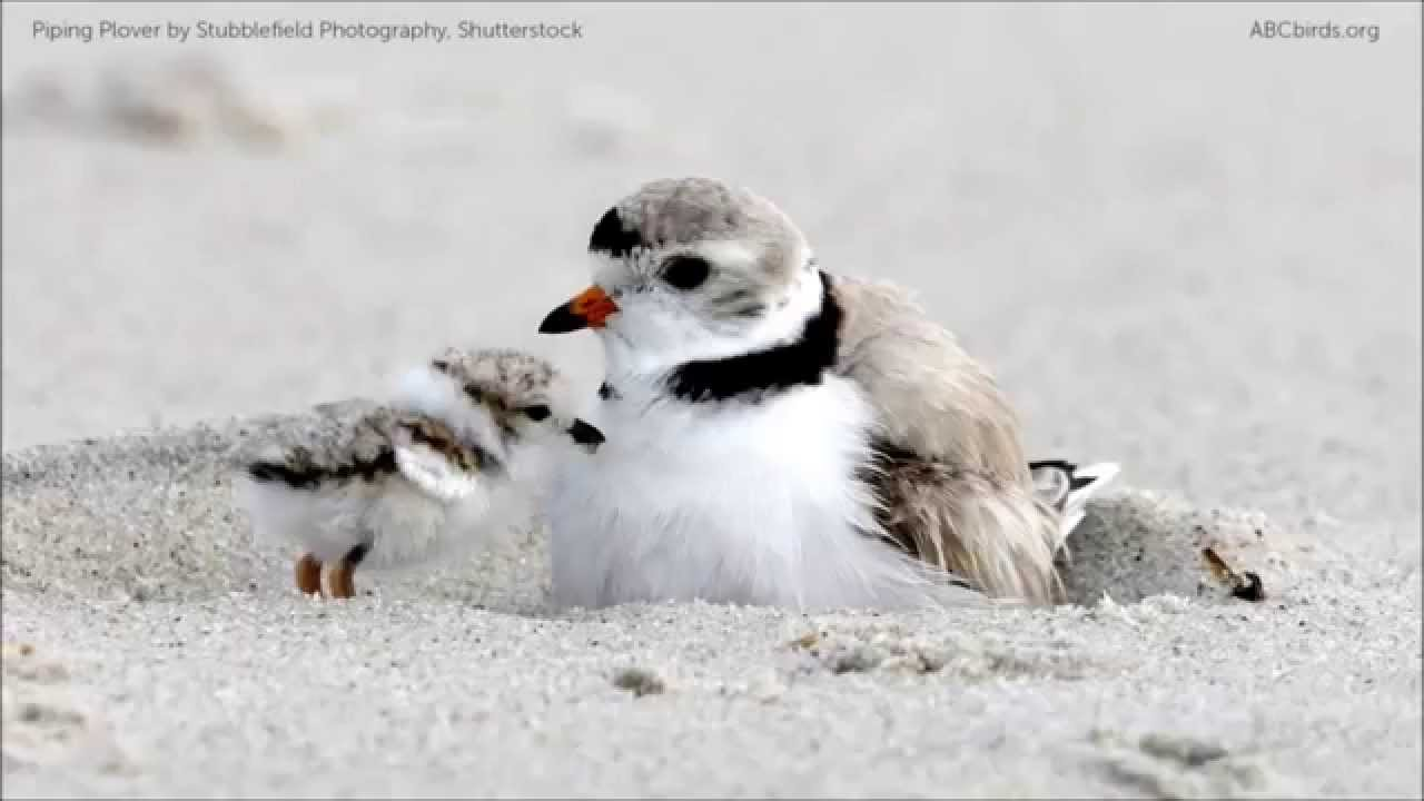 piping plover calls youtube