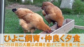 """2017年9月上旬のこと。 名古屋コーチンの雌鶏""""もみじ""""と""""かえで""""は、生..."""