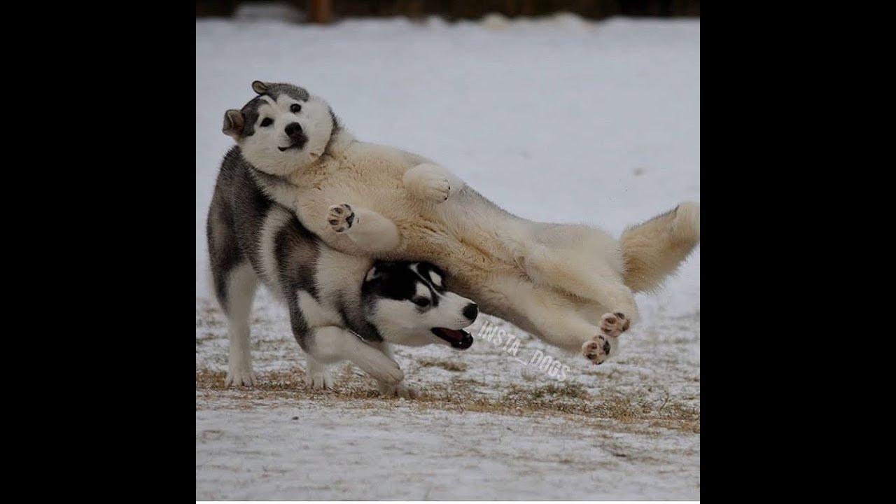 「絶対笑う」最高におもしろ犬,猫,動物のハプニング, 失敗画像集 84