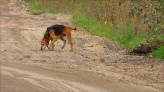 Охота на зайца (без выстрелов) с русской гончей
