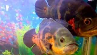 красивый Астранотус Оскар в Паре в Аквариуме. Самка и Самец