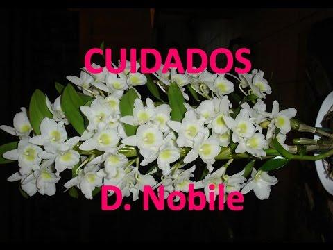 Orquidea Dendrobium Nobile Cuidados