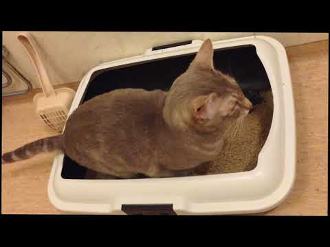Oriental cat with litter box issues
