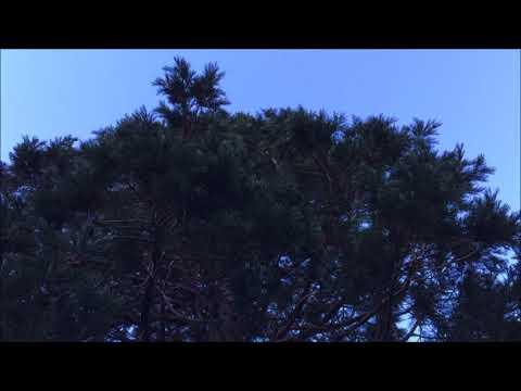 Giant redwood (Sequoiadendron giganteum) - crown - January 2018