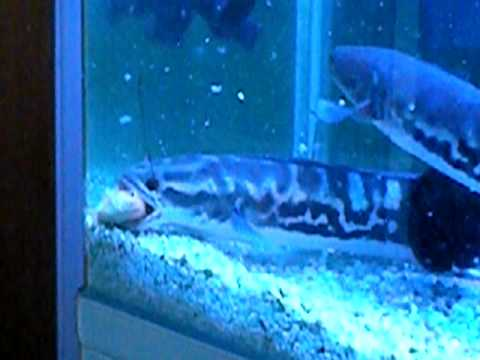 giant snake head destroys fish