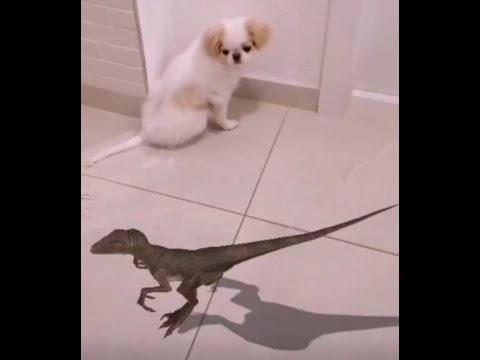 Little Dog vs Dino OMG Japanese Chin Puppy