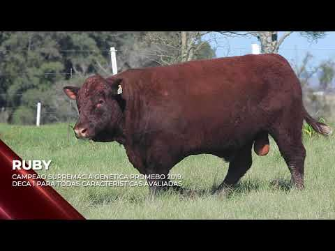 Touro Ruby - Devon indicado para IATF - RENASCER BIOTECNOLOGIA VIDEO