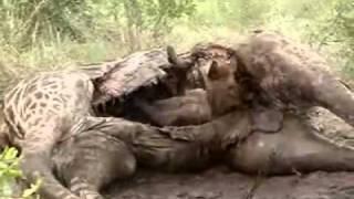 Jedząca COŚ Hiena