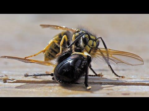casio exilim ex f1 wespen in zeitlupe wasps 300fps doovi. Black Bedroom Furniture Sets. Home Design Ideas