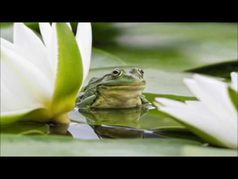 frog sounds with crickets and rain 12 hours long nature sounds