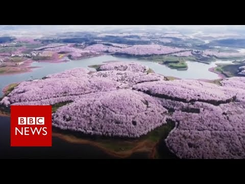Drone captures beautiful China blossoms – BBC Information