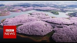 Drone captures stunning China blossoms - BBC News