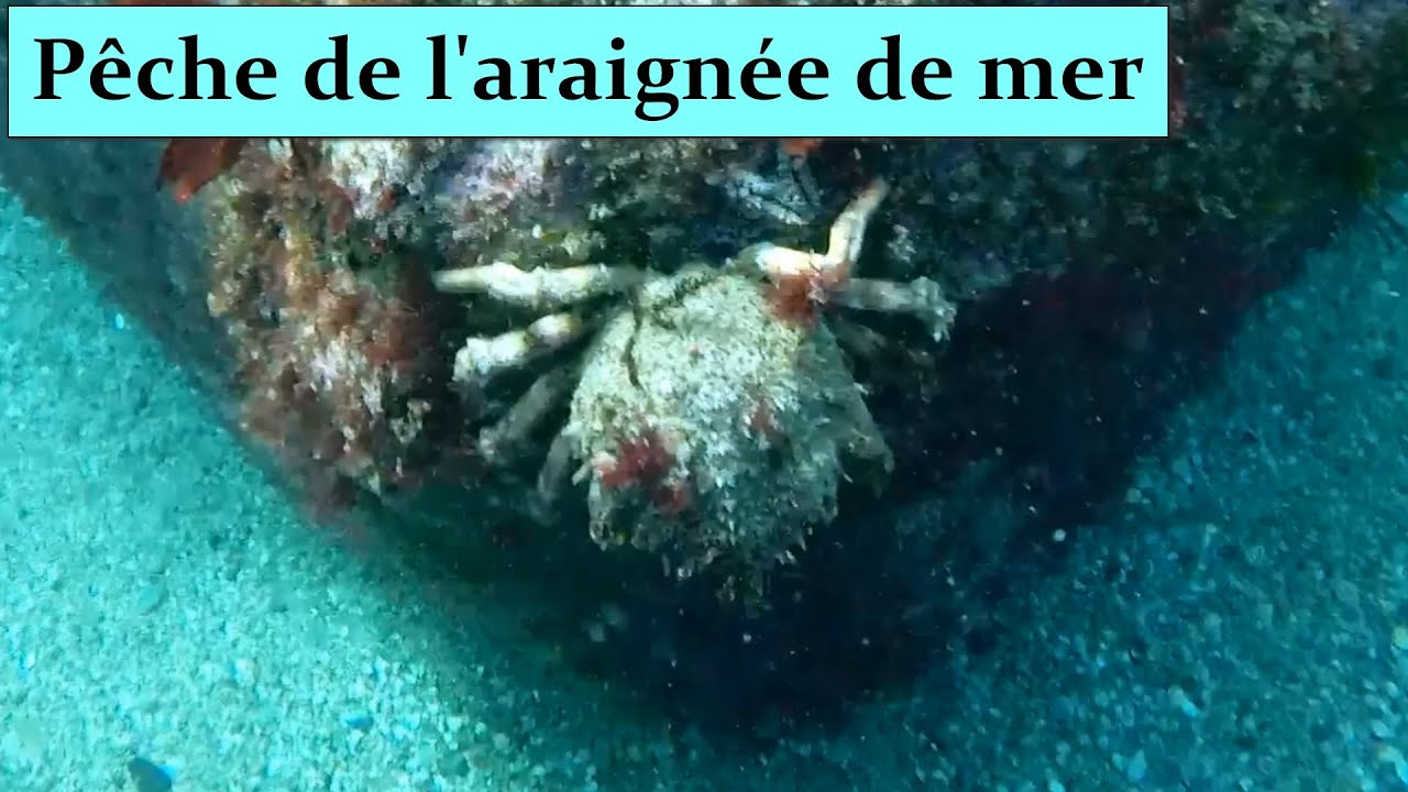 p che de l 39 araign e de mer dans le morbihan 2 me hd 1080p fr spider crab fishing youtube. Black Bedroom Furniture Sets. Home Design Ideas
