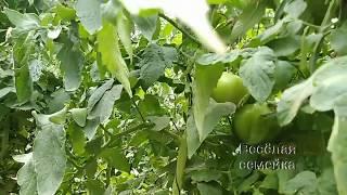 Дозаривание томатов. Собираем зеленый урожай