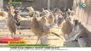 В зеленом поясе Астаны завелись фазаны