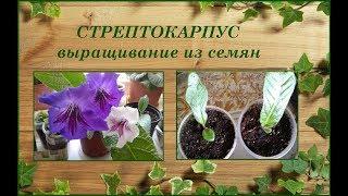 Стрептокарпус. Выращивание из семян.