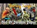 Burung Cendrawasih Bird Of Paradise  Mp3 - Mp4 Download