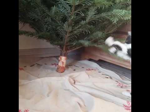 Selkirk Rex kitten playing with the christmas tree