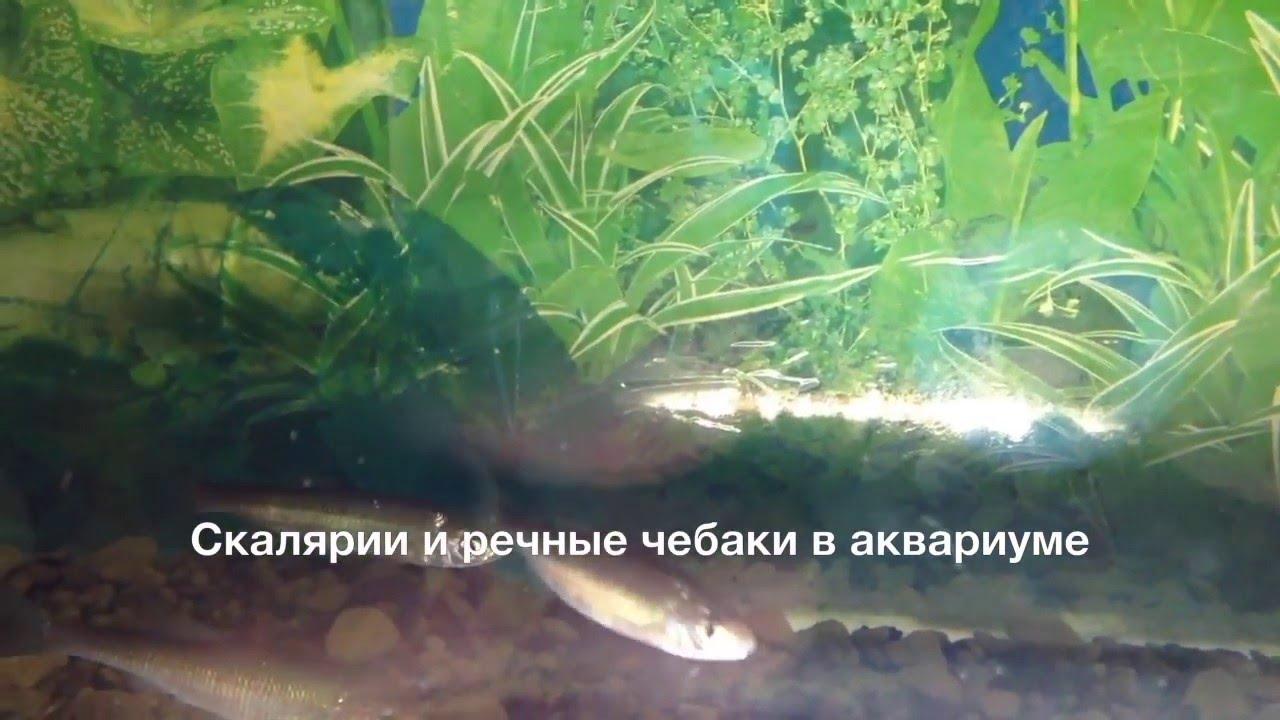 Бурая водоросль в аквариуме фото ленточки может