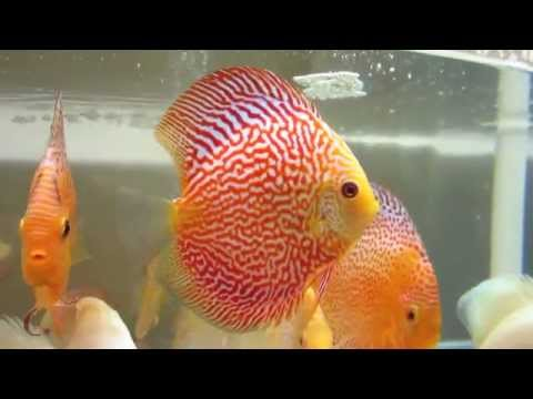 Pigeon Snakeskin Discus Fish   YouTube