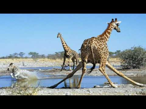 LIVE FEED: April The Giraffe ANIMAL ADVENTURE PARK GIRAFFE CAM LiveChat (24/7)