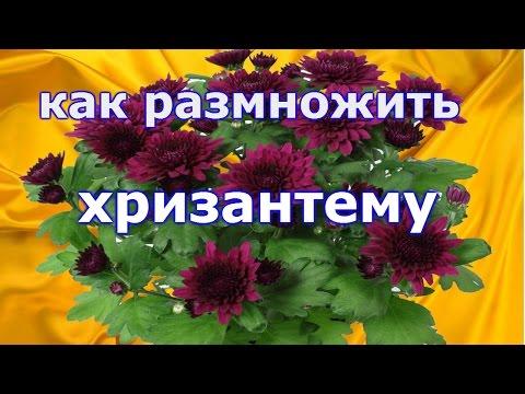 Как из одного маточного куста хризантемы размножить много крепких растений!!!