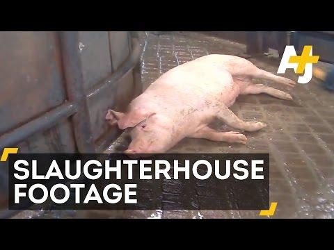 Undercover Video Reveals Horrifying Animal Abuse At Hormel
