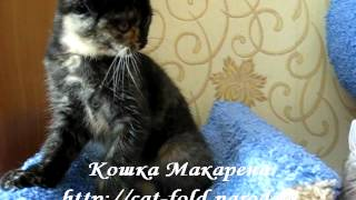 Макарена, кошка, скоттиш-фолд, окрас чёрный черепаховый.