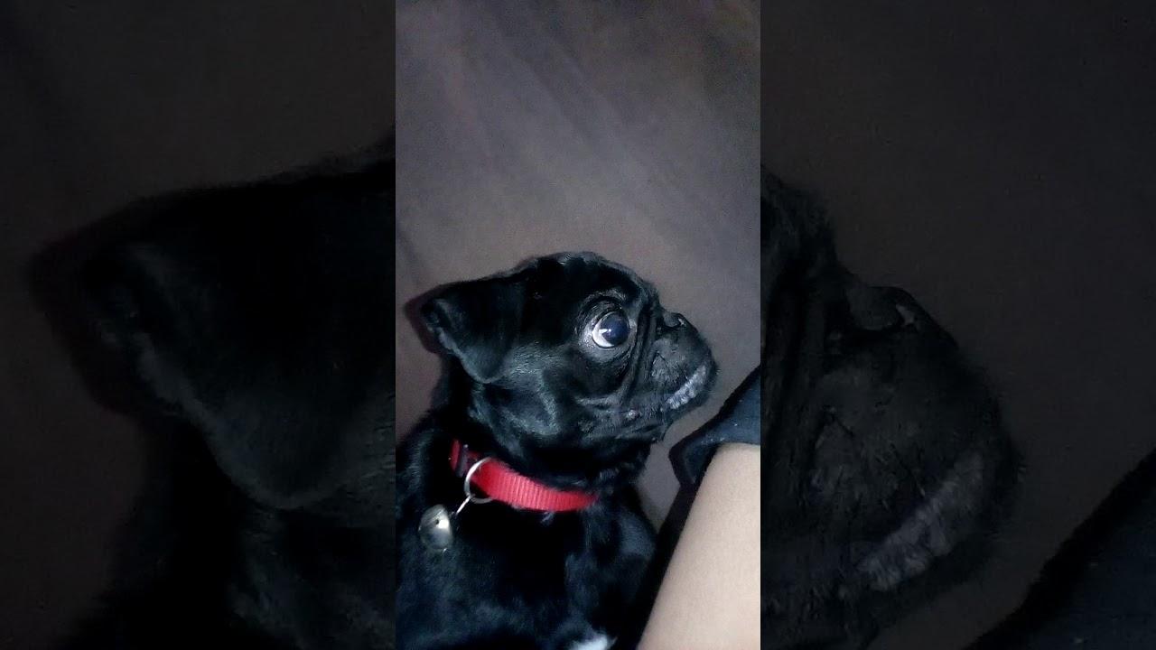 Wonderful Pug Black Adorable Dog - maxresdefault  Photograph_361652  .jpg