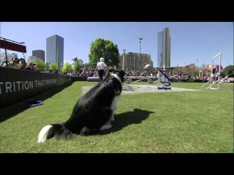 Large Dog Agility Winner - 2016 Purina® Pro Plan® Incredible Dog Challenge® Eastern Regionals
