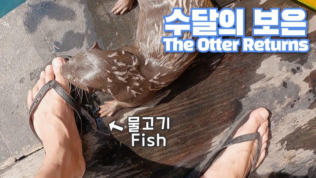 수달의 보은? (ft.물고기 잡아서 갖다주는 수달)|The Otter Returns (feat. Otter catch fish and bring them to human)